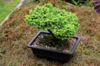 Bonsai - Picea abies' Little Gem' in shallow square container