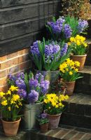 Spring containers with Hyacinthus 'Blue Delft', Narcissus 'Tete a Tete' on stairs in Fairfield in Surrey