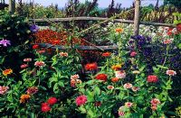 Zinnia 'Whirlygig' against wooden fence at Great Dixter in Sussex