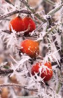 Rosa 'Scarlet Fire' with hoar frost
