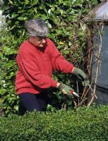 Woman pruning Clematis montana back in early spring at The Anchorage in Kent