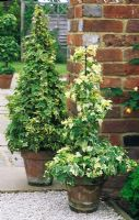 Variegated Ivy trained on wire frames grown in containers