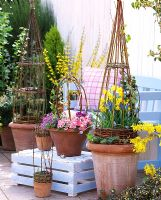 Spring containers with woven willow obelisks, Narcissus and Forsythia