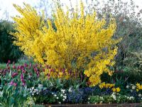 Forsythia 'Lynwood Gold' in spring border