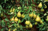 Pyrus 'Conference' - Pears on tree in autumn