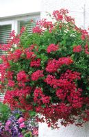 Hanging basket with red Pelargoniums