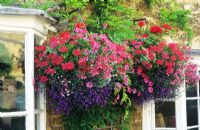 Summer flowering colourful hanging baskets with Pelargoniums and Lobelia