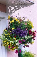 Summer flowering colourful hanging basket  with Lobelia, Petunia, Begonia and Helichrysum