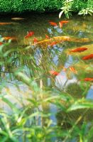 Small pond with goldfish