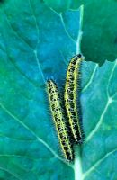 Cabbage White Caterpillars on cabbage leaf
