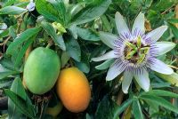 Passiflora caerulea with flower and fruit