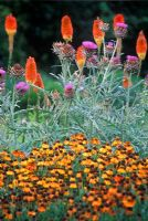 Hot summer border with Cynara cardunculus - Cardoon, Helenium 'Sahins Early Flowerer', Kniphofia 'Prince Igor' - Torch Lily