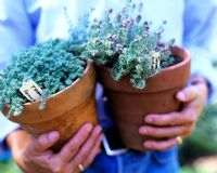 Holding pots of Thymus - Thyme