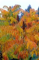 Rhus typhina 'Dissecta' - Sumach
