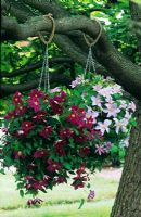 Clematis 'Sunset' and 'Silver Moon' in hanging baskets in tree at Bransford Nursery, Worcestershire