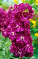 Matthiola bicornis 'Danish Dark Blue'