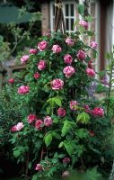 Rosa 'Ferdinand Pichard' trained on rustic obelisk made from hazel rods