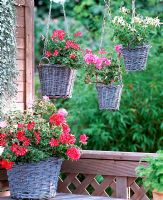 Hanging woven baskets with Pelargonium peltatum 'Doctor Blizzard', 'White Glitter' and 'Variegata'