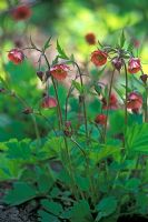 Geum rivale 'Leonards Variety' - Water Avens flowering in May