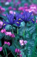 Iris reticulata with Cyclamen Coum
