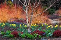 The Winter Garden at Bressingham Gardens, Norfolk. Betula apoiensis Mount Apoi with Erica x darleyensis Kramer's Rote, spring bulbs and Cornus sanguinea Midwinter Fire in late Winter.