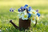 Miniature watering can with spring flowers. Primula vulgaris and Myosotis on the grass in the evening light