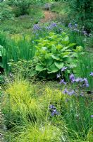 Bog Planting with Iris sibirica 'Papillon' at The Wave Garden, Pensthorpe