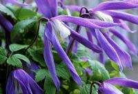 Clematis alpina 'Frances Rivis' flowering in April