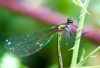 Female banded demoiselle damselfly resting on a plant