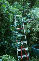 Pruning back overgrown boundary hedge of mixed shrubs, Viburnum, Jasminum nudiflorum, step ladder and loppers