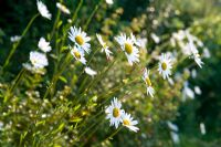 White Marguerites growing on wall