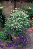 Acer negundo 'Flamingo' with Campanula poscharskyana 'Stella' in container.