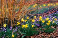 Narcissus 'Tete-A-Tete' in border with Chionodoxa forbesii and Cornus sanguinea 'Midwinter Fire'