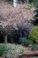 Prunus incisa 'Kojo No Mai' - in blossom in border with Erica carnea 'Springwood White' beneath at Foggy Bottom Garden, Bressingham