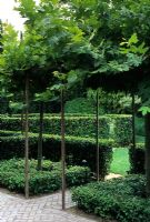 Pleached Maple trees forming arch above path with low topiarised hedges - Bel Air, LA