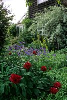 Shady early summer border of red Paeonia officinalis, blue Aquilegia, lime green Euphorbia characias and silver Eleagnus 'Quicksilver' beside weatherboarded cottage - Eastgrove Cottage