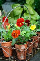 Pansies in antique terracotta pot carrier