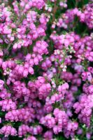 Erica gracilis. Autumn bedding heather...not winter hardy in UK