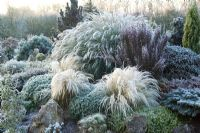 Frost on the contrasting forms of grasses and conifers on the rock garden in winter. Planting includes Stipa tenuissima, Miscanthus, Hebe and Rhododendron.