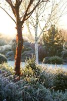 Dawn on a frosty winter's morning in John Massey's garden with the bark of Prunus serrula (Cherry) and Betula utilis var. jacquemontii (Silver birch) in the foreground
