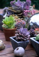 Contemporary collection of Echeveria succulents in small containers on table