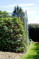 Fruit cage at Pashley Manor. Redcurrants protected by wire mesh in foreground