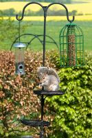 Bird table with pea nuts and squirrel proof bird seed holders hanging from iron hooks. Squirrel on table eating food scraps. Beech hedge. May