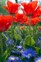 Tulipa 'Red Riding Hood' with Anemone blanda 'Blue Shades'