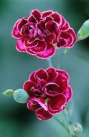 Dianthus 'Laced Monarch' - Carnation