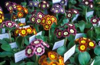Collection of Primula auriculas at the National Auricula and Primula Society