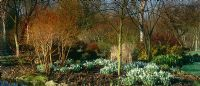 Late winter border at Glen Chantry. Snowdrops - Galanthus 'Atkinsii' and Cornus sanguinea 'Midwinter Fire'