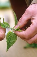 Taking cuttings from tender plants (Salvia guaranitica) Nipping out growing point - Demonstrated by Carol Klein