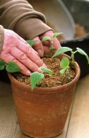 Taking cuttings from tender plants (Salvia guaranitica)Firming plants in soil - Demonstrated by Carol Klein