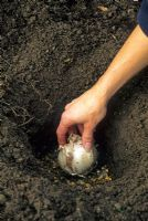 Planting Allium bulb in 20cm hole with gravel for drainage